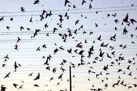 birds-on-wire